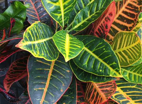 Think all houseplants are just 'plain green'? Think again! Crotons are particularly colourful!