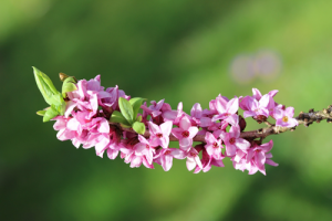 February Daphne blooms after Valentine's Day