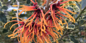 Chinese witch hazel / Hamamelis mollis