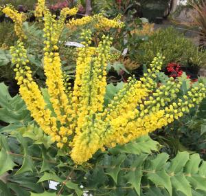 Mahonia flower