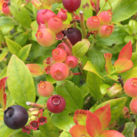 Growing Guides - Small Fruits