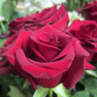 Growing Guides - Rosses