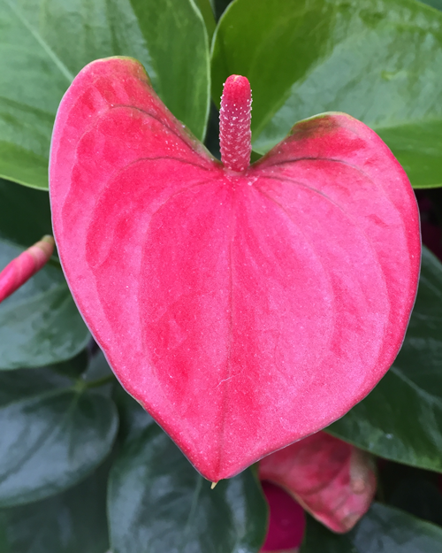 Pink Anthurium Flower
