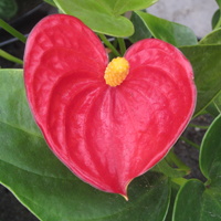 Growing Guides - Tropicals