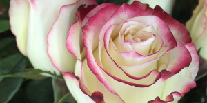 close up of white hybrid tea rose