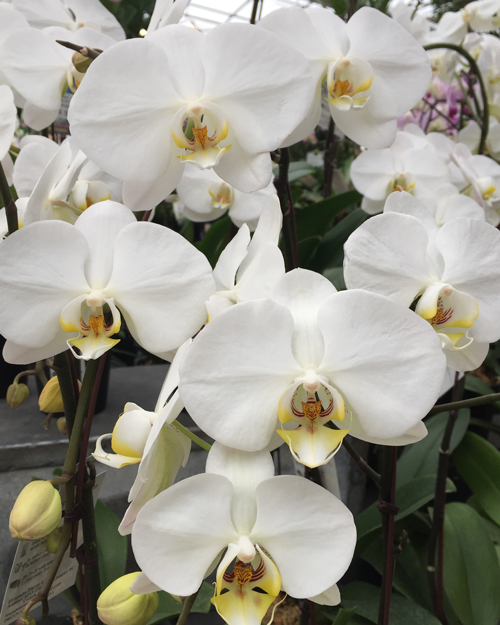 closeup of White Moth Orchid