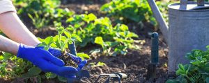 early-spring-planting-gloves-planting-strawberry-Header