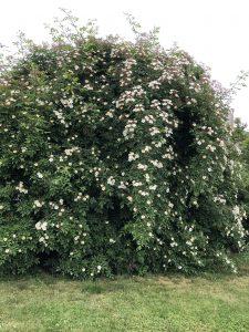 Large flowering hedge