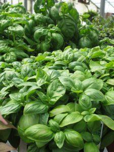 basil growing fresh herbs