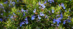 Summer Fragrance Minter Country Gardenx Chilliwack, BC