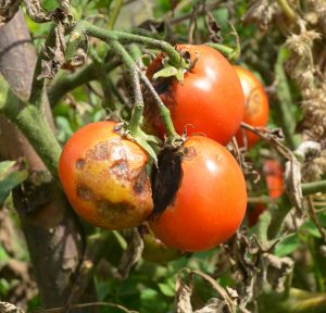 tomatoes with late blight - garden center - chilliwack