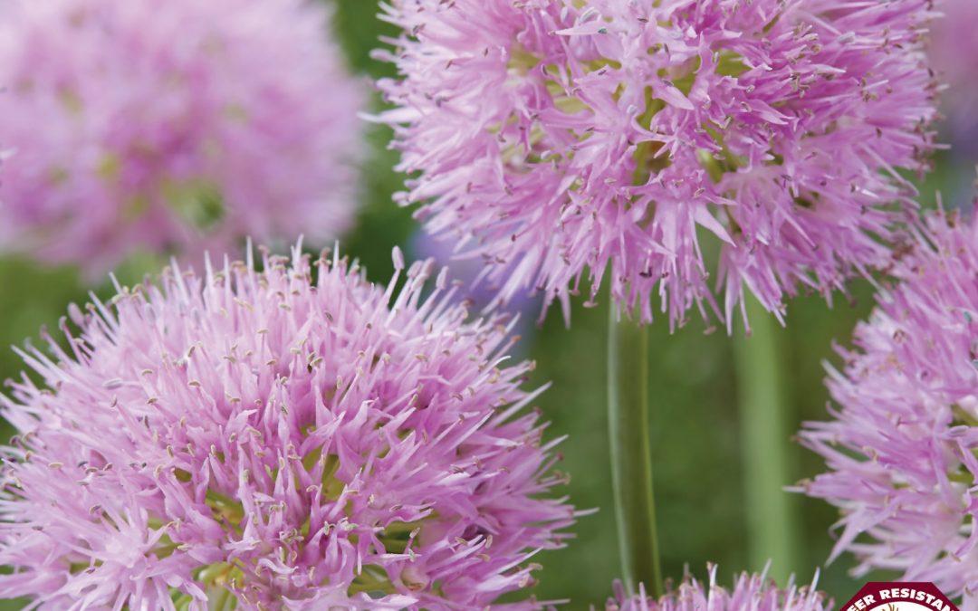 Allium Rosy Dream