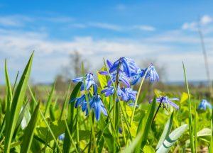Flowering Scilla flowers at springtime