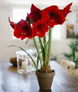 Red amaryllis blooming, flowering in a pot inside a house. Big f