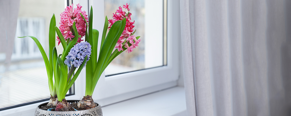 Hyacinths, Amaryllis and Paperwhites for Indoor Enjoyment
