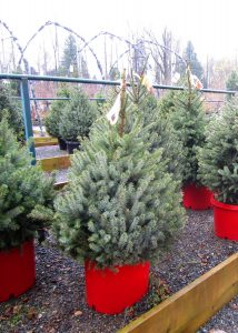 winter-green-timing-potted-trees