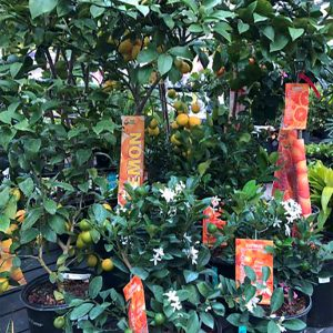 gifts-for-gardeners-2019-lemon-citrus-trees