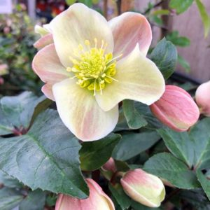 gifts-for-gardeners-2019-hellebore