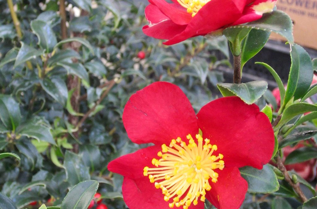 the-other-christmas-plants-camellia