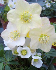 the-other-christmas-plants-helleborus