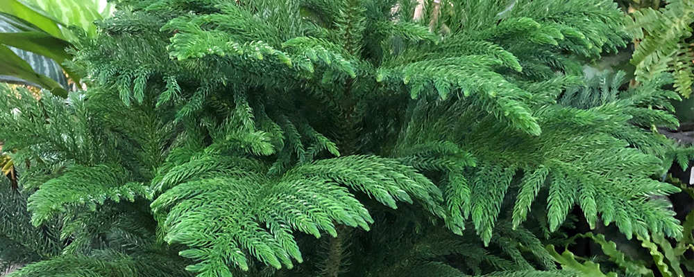 the-other-christmas-plants-norfolk-tree-header