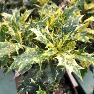 the-other-christmas-plants-osmanthus-square