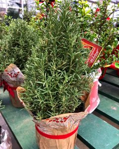 the-other-christmas-plants-rosemary-tree