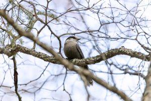 grey-jay-in-tree