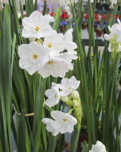 kids-and-the-winter-garden-paperwhites