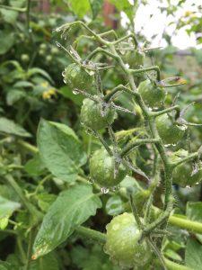tomato minter