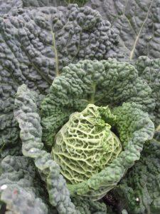 cabbage minter