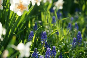 muscari and daffodil Minter Country Garden