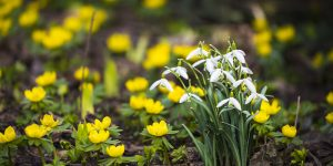 snowdrop and winter aconite