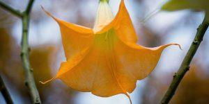 trumpet flower Minter Country Garden