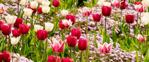 tulips and phlox