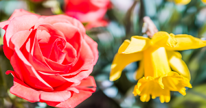 daffodil and rose bush