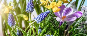 crocus anad hyacinth Minter Country Garden