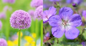 purple flowers Minter Country Garden