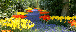 blooming muscari flowers Minter Country Garden