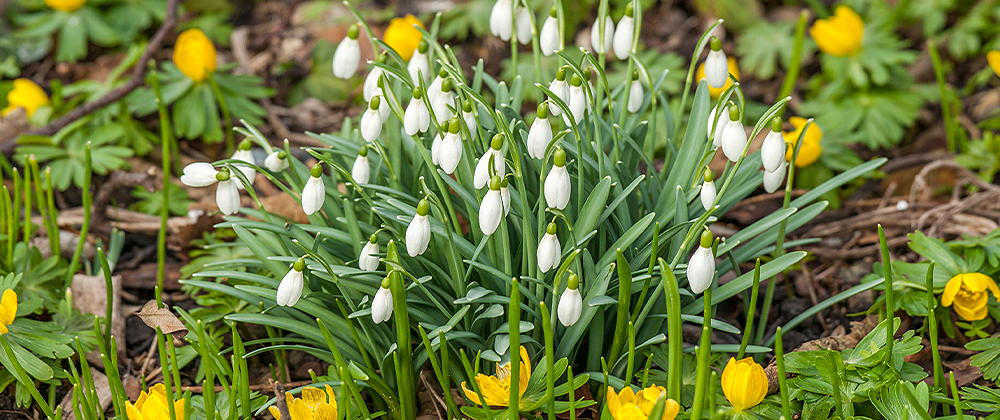snowdrops and aconite bulbs