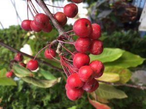 ilex berries