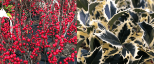 ilex berries and holly Minter Country Garden