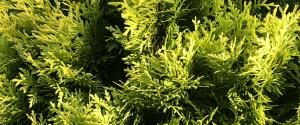 cedar foliage Minter Country Garden