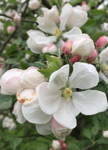 fruit tree blooms