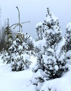 snow on evergreens Minter Country Garden