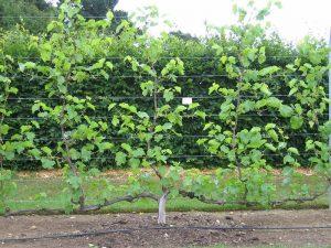 espalier style vine training Minter Country Garden