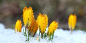 crocus blooming Minter Country Garden