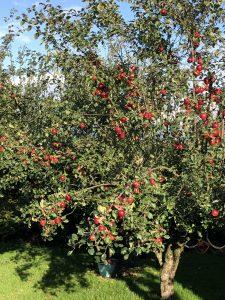 cherry tree Minter Country Garden
