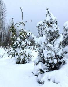 snow covered evergreens Minter Country Garden