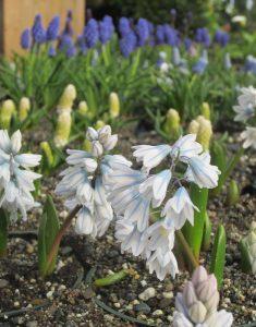 spring blooming bulbs in garden